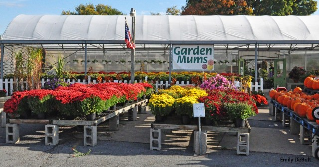 mums-at-garden-center-for-web-1024x536