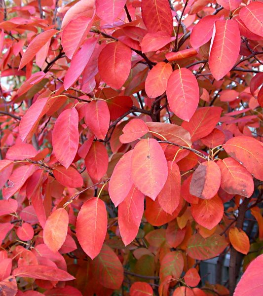 amelanchier-fall-3