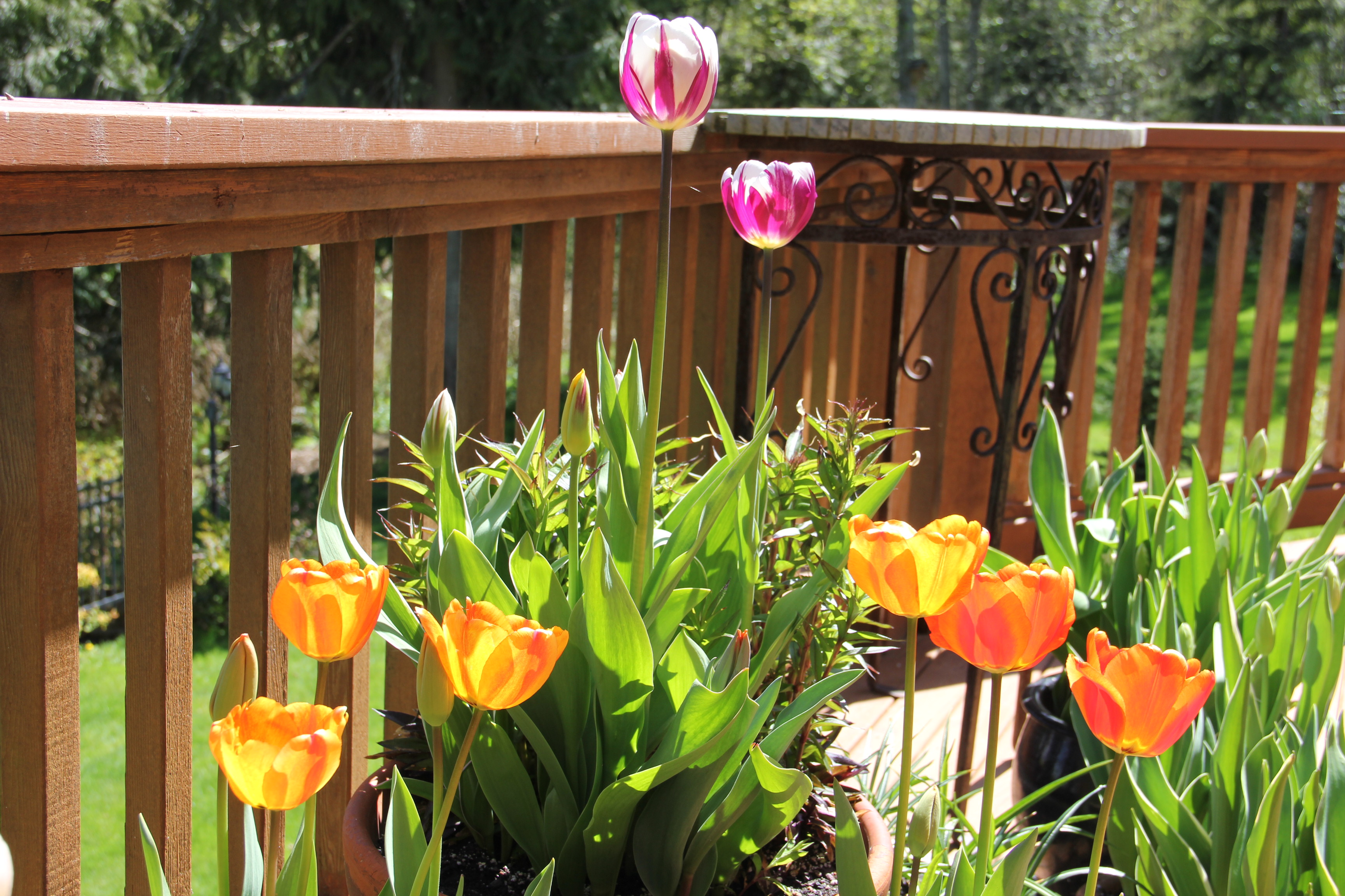 May Day Tulips – Gardens at Coppertop
