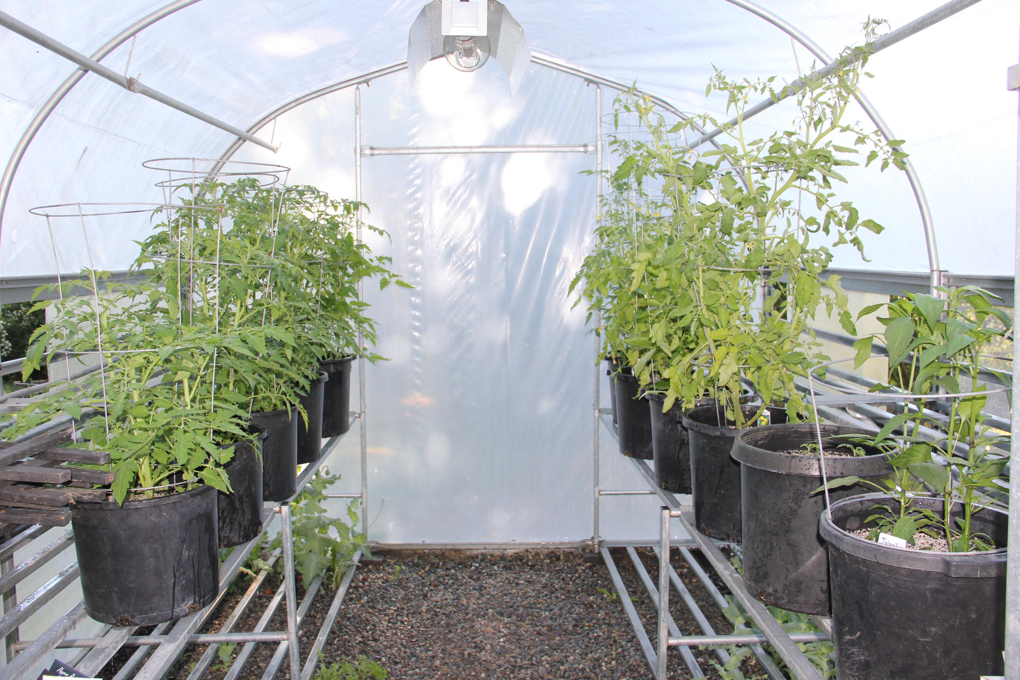 Tomato time gardens at coppertop for When to transplant lemon tree seedlings