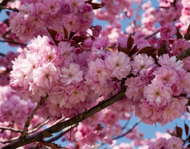 flowering-kwanzan-cherry-tree-hd-wallpaper