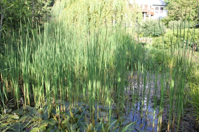 pondgrass