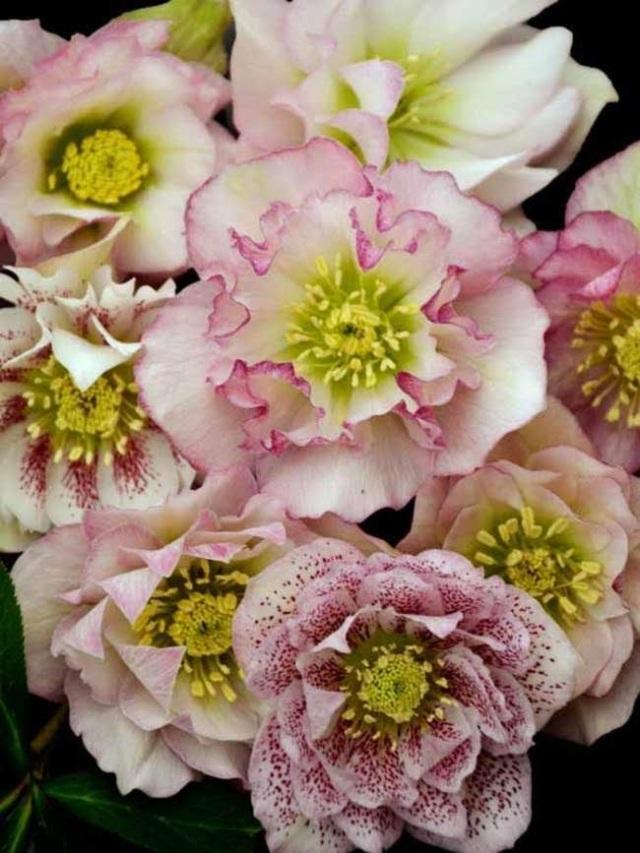 HEFG_0_Helleborus_Flower_Girl_wg.1489108814